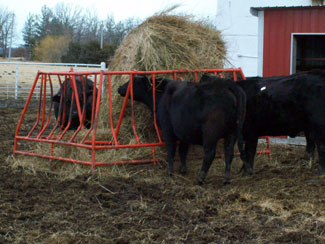 Example of Hardcastle's cattle feeding with the best way to feed cattle